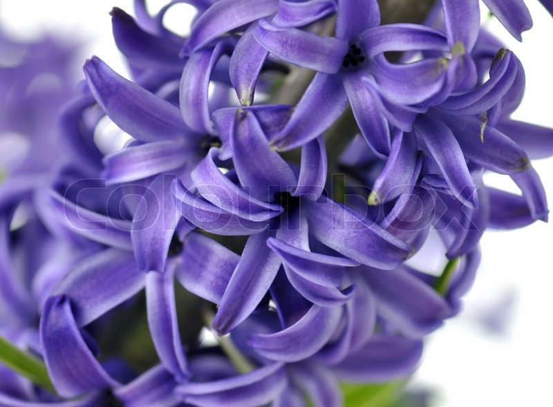 blue hyacinth flowers close up shot for background stock photo