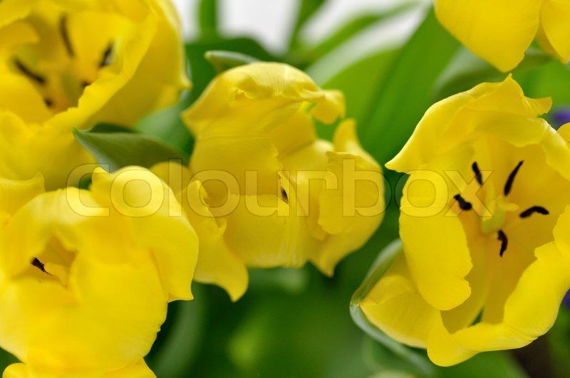 gelbe tulpen ansicht von oben nahaufnahme f r. Black Bedroom Furniture Sets. Home Design Ideas