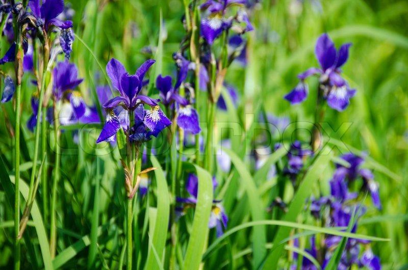 ein b ndel von iris pflanzen mit sch nen gelben lila bl ten stockfoto colourbox. Black Bedroom Furniture Sets. Home Design Ideas