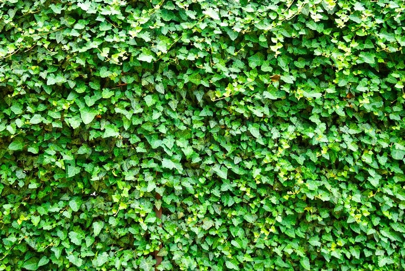 Wall Of The Leaves Ivy Hedera Helix Stock Photo