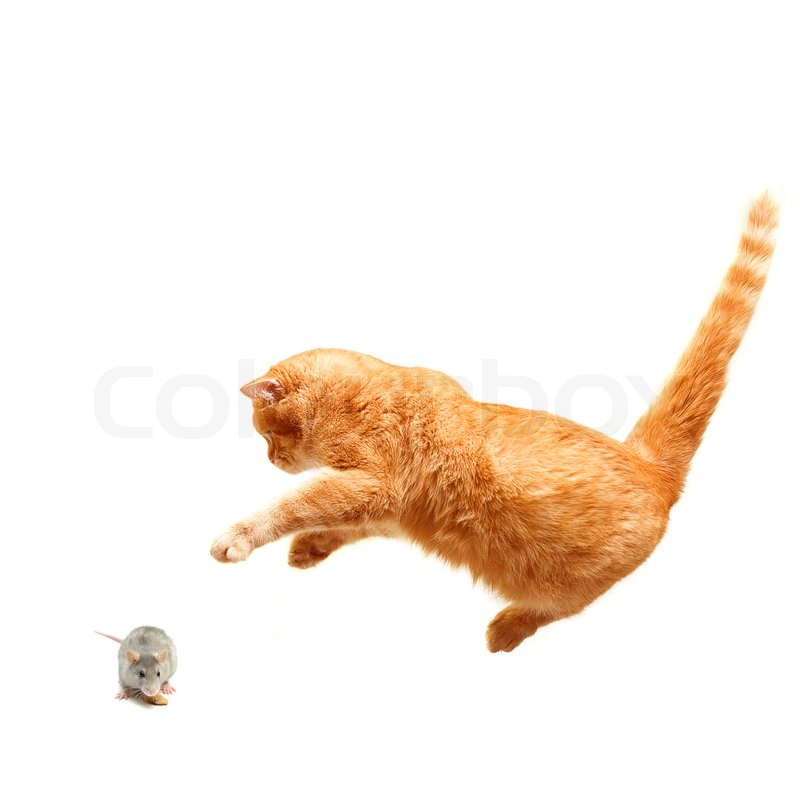 playful cat hunts a mouse isolated stock image colourbox