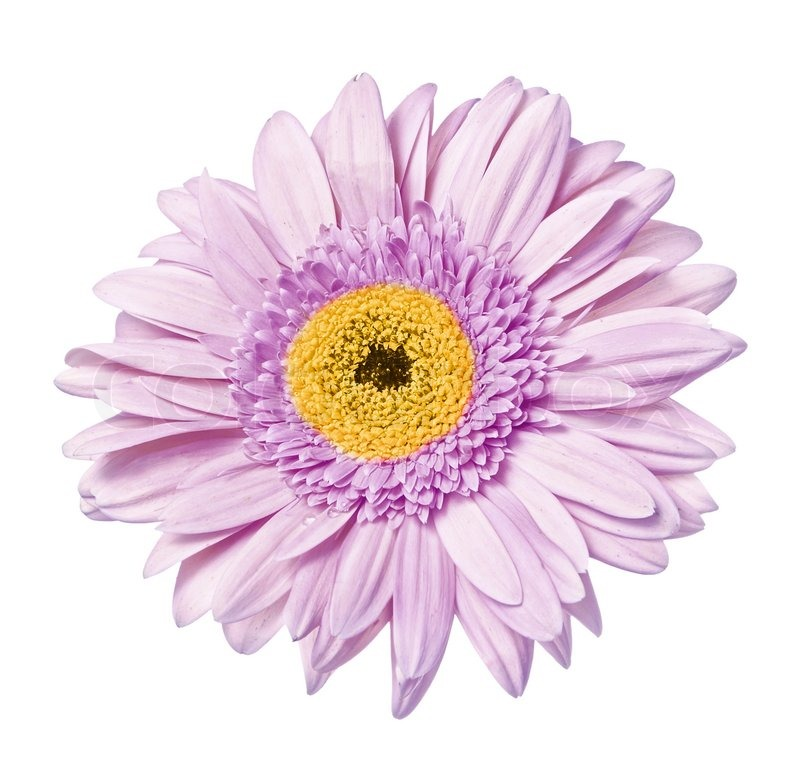 Single flower gerbera isolated on the white background stock photo single flower gerbera isolated on the white background stock photo colourbox mightylinksfo