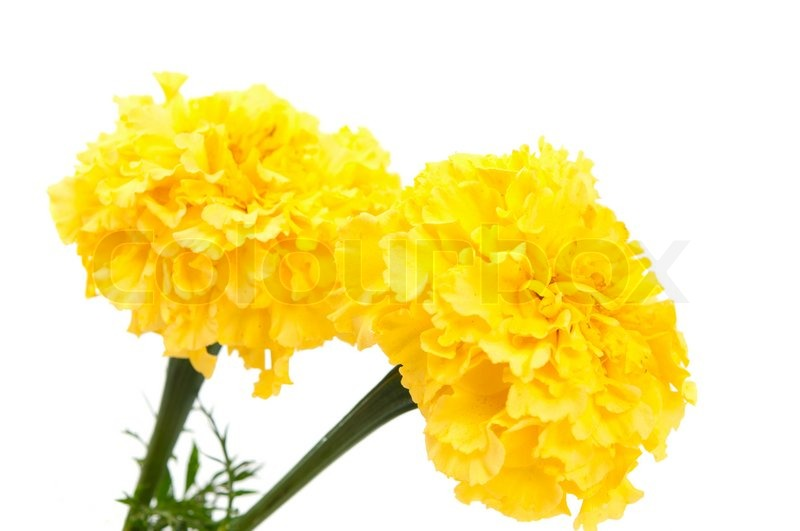 Yellow Marigold Flower Isolated On Stock Photo Colourbox