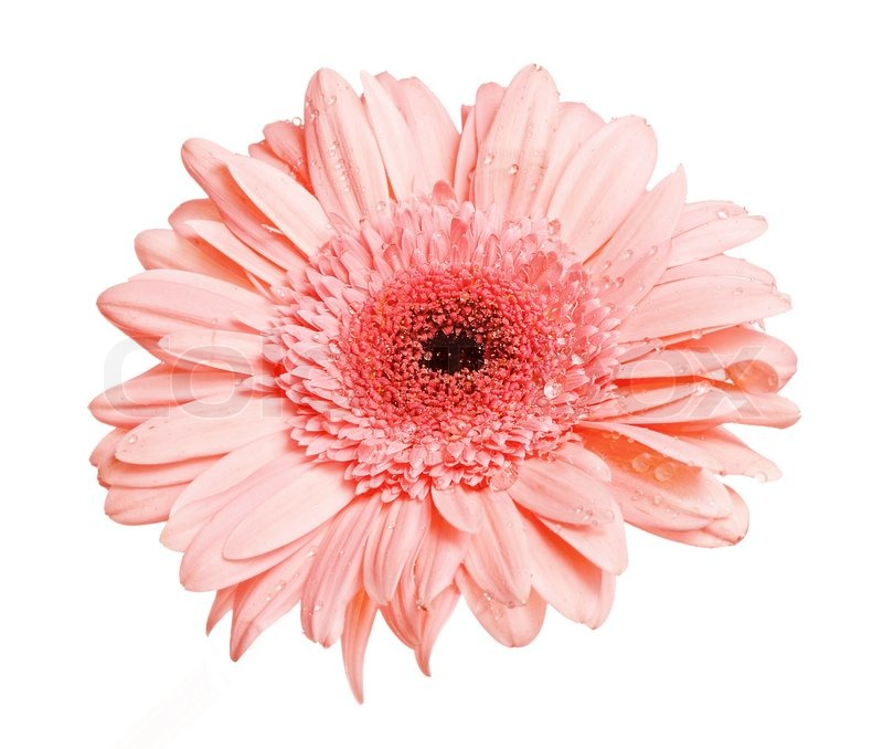 One pink gerbera flower with dew isolated on white stock photo one pink gerbera flower with dew isolated on white stock photo colourbox mightylinksfo