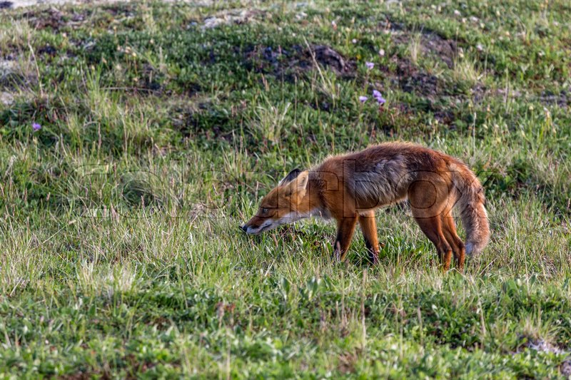 Stock image of 'Wild fox at Kamchatka national park'