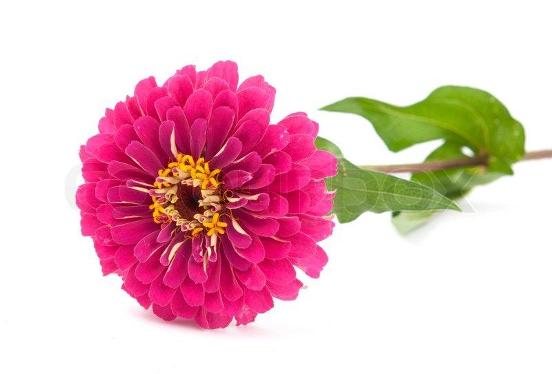 Zinnia flower on a white background | Stock image | Colourbox