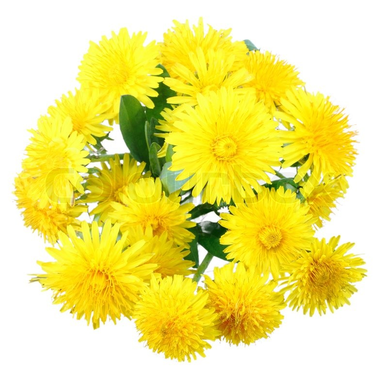 Bouquet of yellow flowers of dandelion isolated on white background bouquet of yellow flowers of dandelion isolated on white background close up studio photography stock photo mightylinksfo