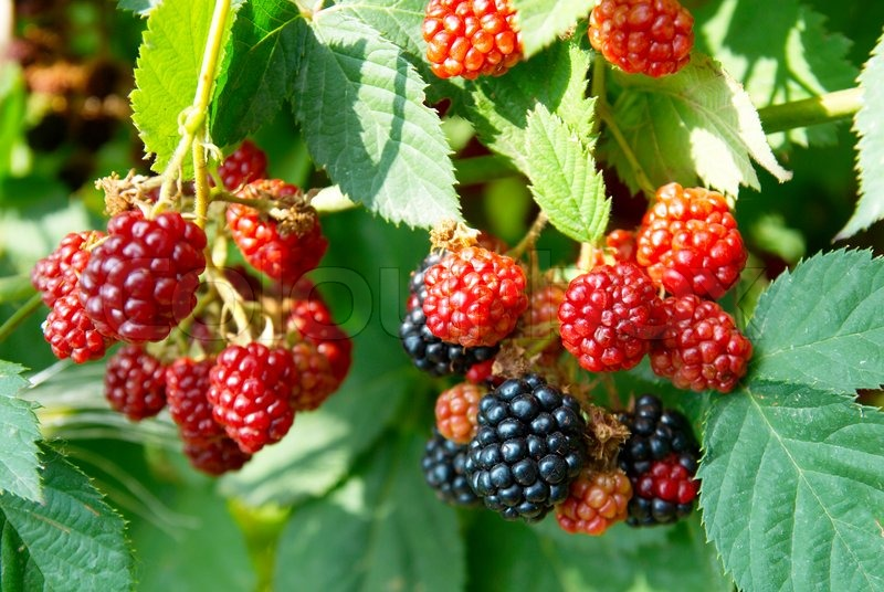 Black and red blackberries close-up, soft focus, stock photo