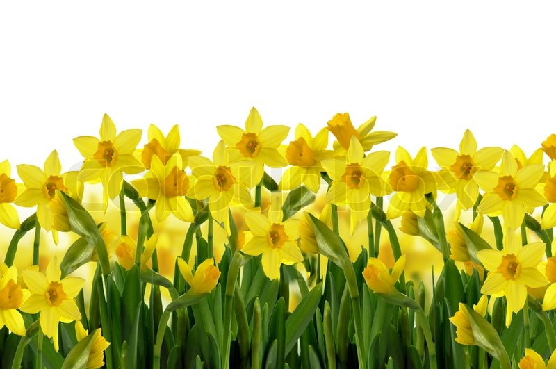 Abstract background of yellow spring daffodils on white background abstract background of yellow spring daffodils on white background stock photo colourbox mightylinksfo