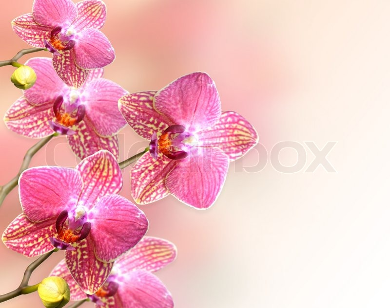 pink orchids close up - photo #47