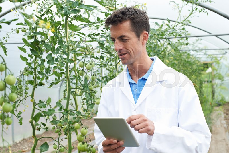 Male Scientist In Greenhouse Researching Tomato Crop, stock photo