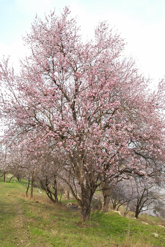 Blooming almond tree with white- pink flowers | Stock ...