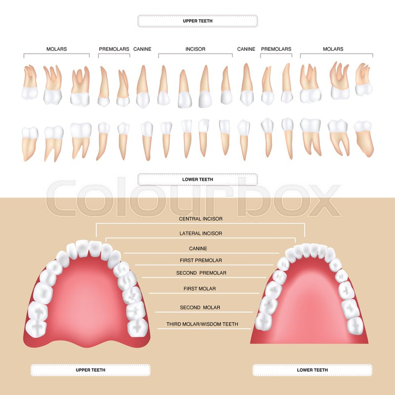 Human dental anatomy permanent tooth | Stock Vector | Colourbox