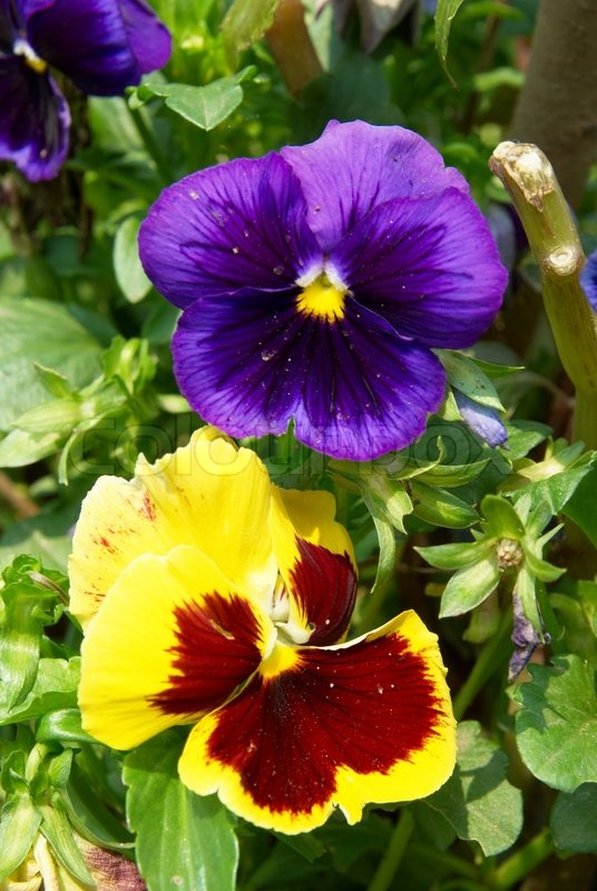 Pansy purple and yellow flowers in the garden | Stock ...