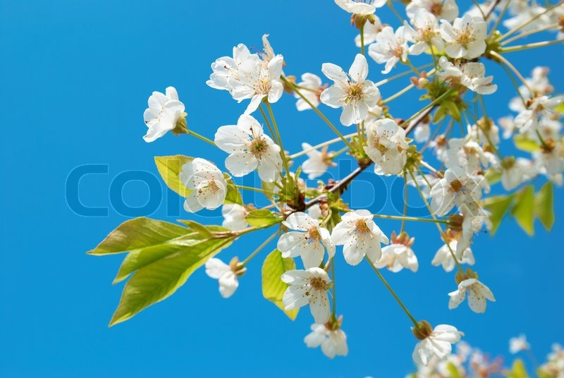 white cherry blumen mit blauen himmel im hintergrund. Black Bedroom Furniture Sets. Home Design Ideas