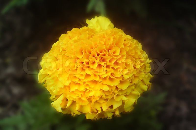 Yellow Carnation Flowe Stock Photo Colourbox