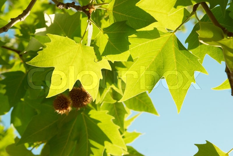 Салатовый кленовый лист фото
