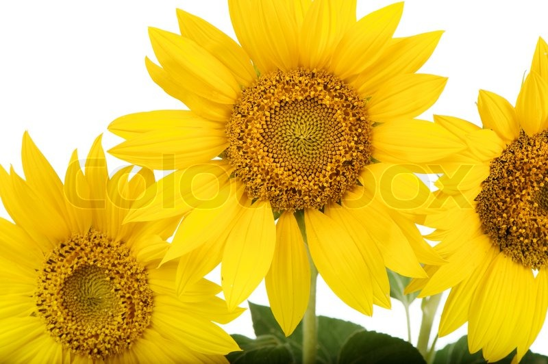 Sunflowers isolatedtall plant with a large yellow petalled flower sunflowers isolatedtall plant with a large yellow petalled flower that produces edible seeds stock photo colourbox mightylinksfo