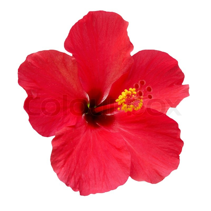 Red Flower Hibiscus Rosa Sinensis Isolated On White Stock Photo