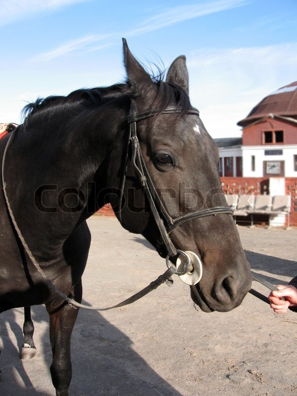 Stock image of 'Black horse with a white spot on his forehead'