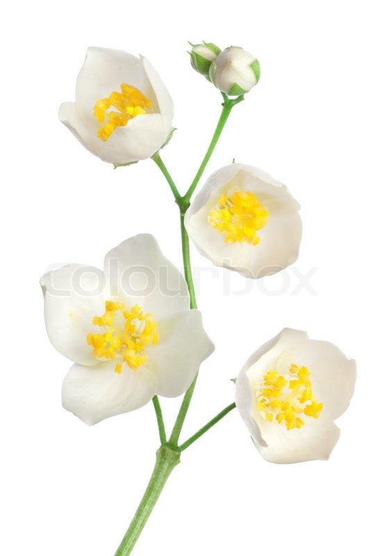 Jasmine flowers isolated on a white background stock photo colourbox jasmine flowers isolated on a white background stock photo mightylinksfo Images