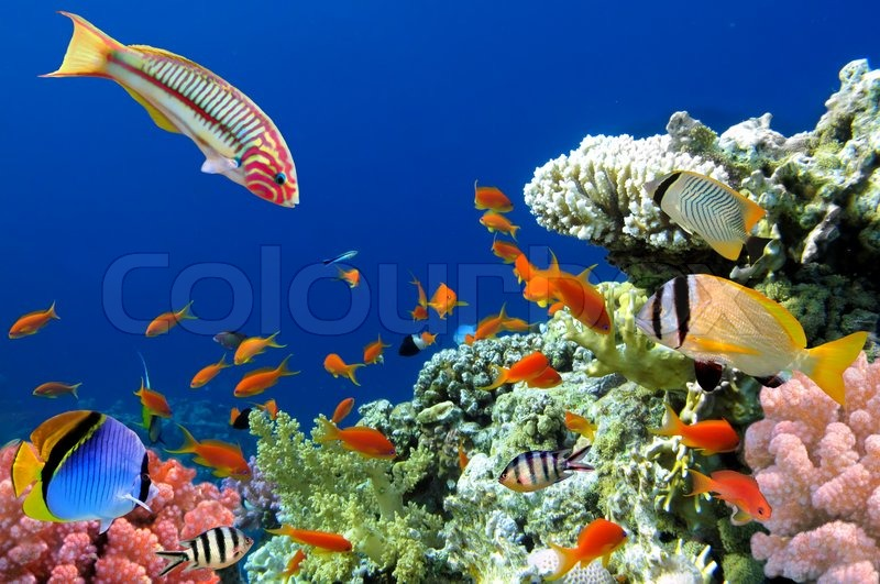 Coral Reef Fish on Tropical Fish And Coral Reef  Thalassoma Klunzingeri And Hard Corals