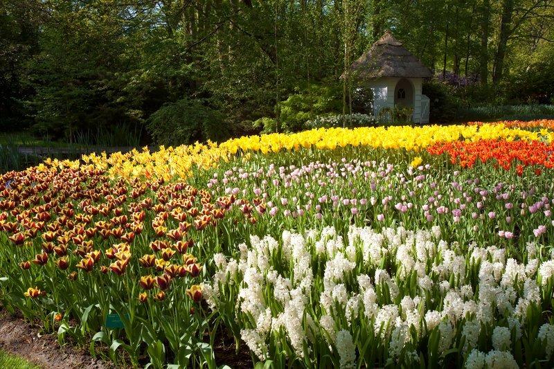 tulpen im keukenhof blumengarten in lisse niederlande. Black Bedroom Furniture Sets. Home Design Ideas