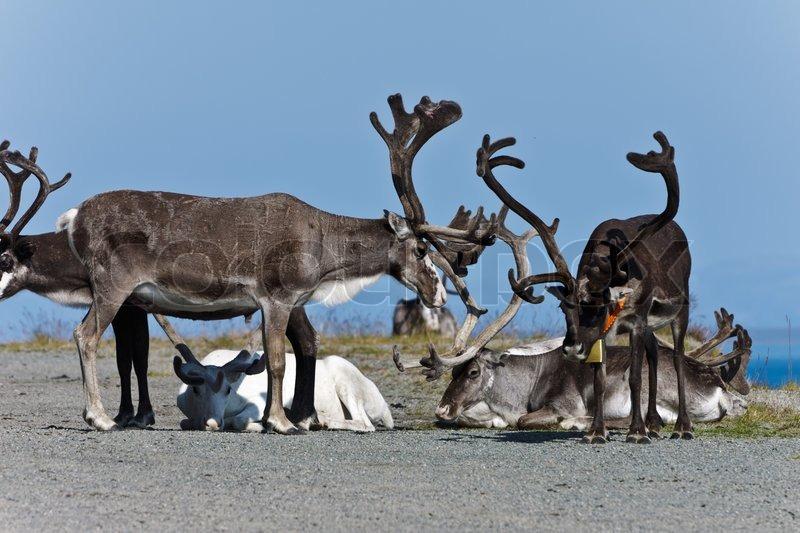 Stock foto af rensdyret en pause norge