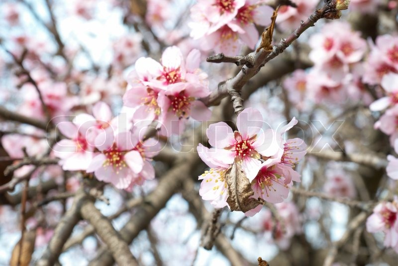 The Almond Tree Pink Flowers With Branches Stock Photo