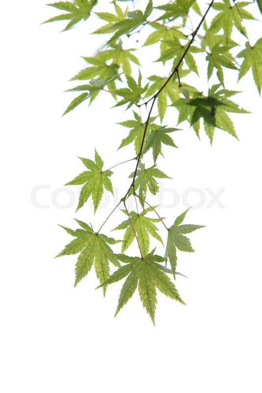 Young Green Japanese Maple Tree Leaves Stock Image Colourbox