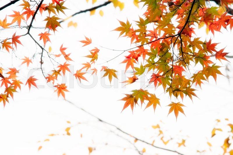 Japanese maple tree leaves illuminated by sunlight on white background, stock photo