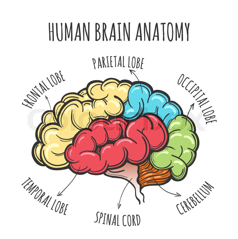 Main Parts Of The Human Brain Human Brain In Sketch Style Vector