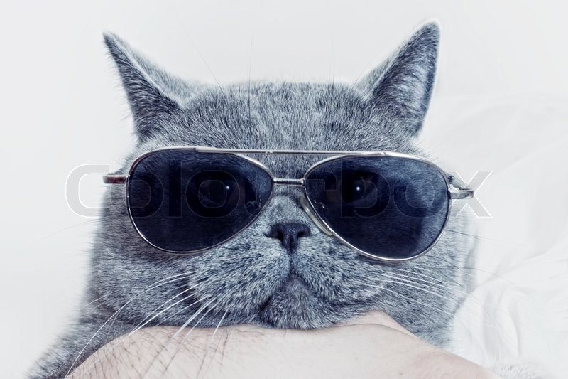 funny muzzle of gray british cat in sunglasses closeup stock photo colourbox. Black Bedroom Furniture Sets. Home Design Ideas