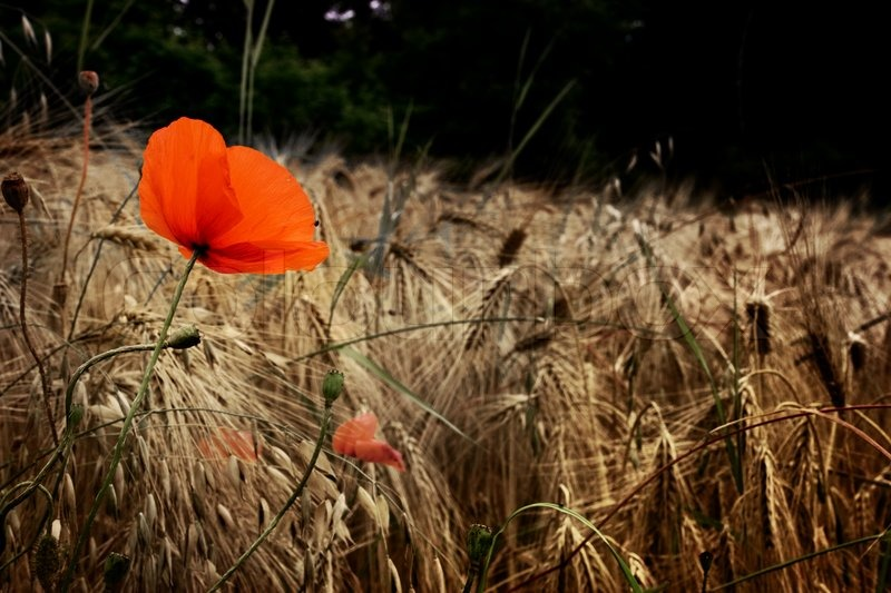 Image result for skylarks in a barley field with poppies