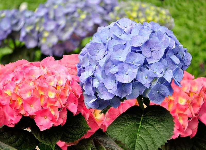 Blue And Pink Hortensia Flowers Close Up Stock Photo