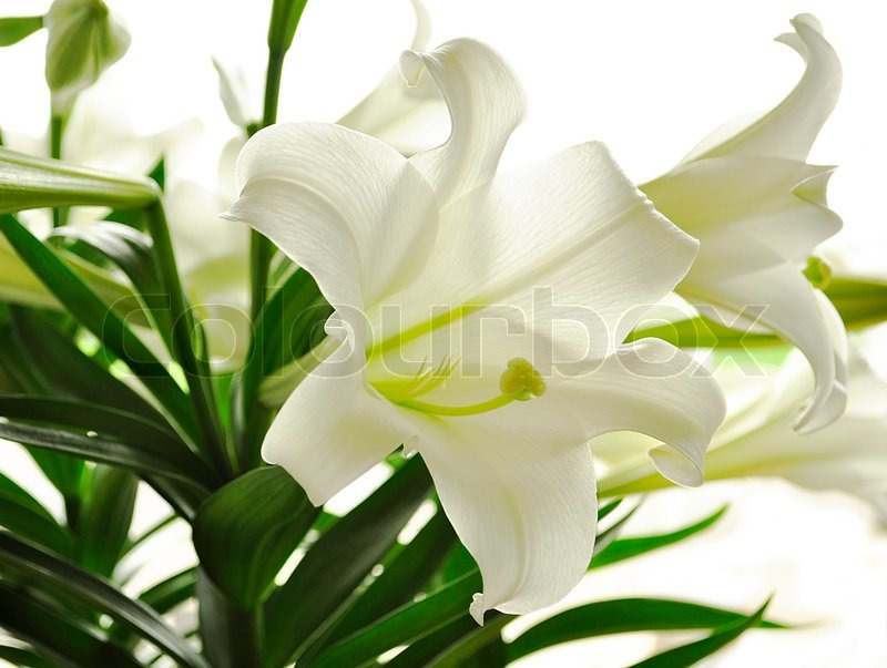 Beautiful white lily flowers , close up | Stock Photo | Colourbox