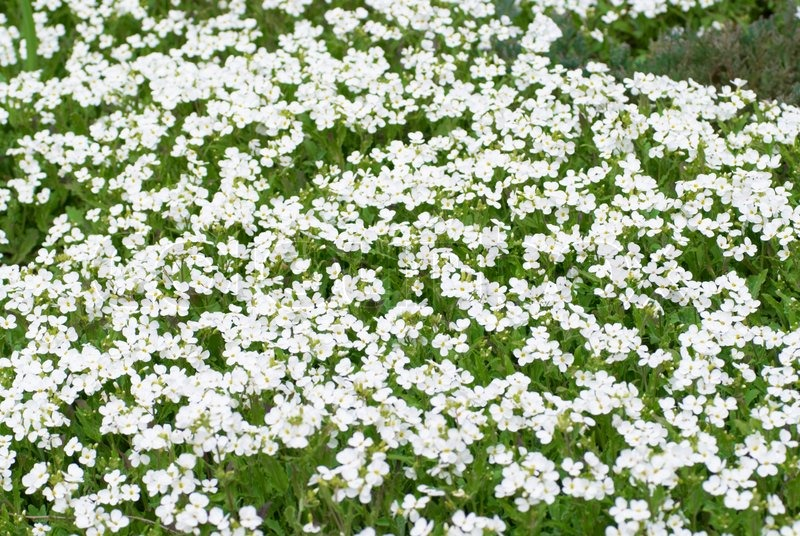 Field of white flowers on the green background stock photo colourbox mightylinksfo