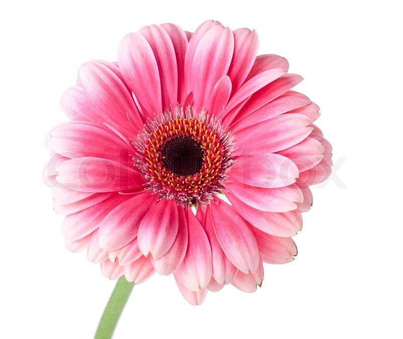 Pink gerbera flower on stem isolated on white stock photo colourbox mightylinksfo