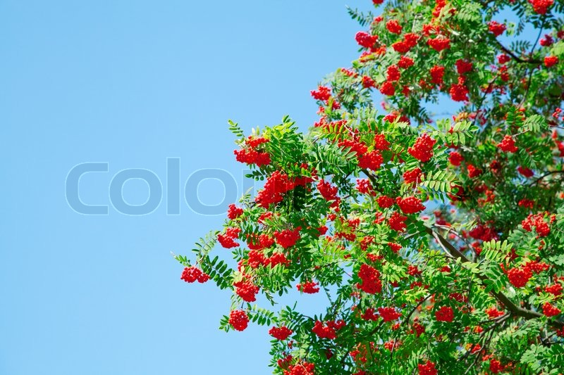 ein baum mit vogelbeeren am blauen himmel stockfoto. Black Bedroom Furniture Sets. Home Design Ideas