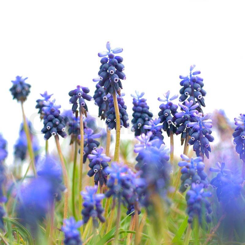 blaue blumen hyazinthen auf dem gr nen rasen stockfoto colourbox. Black Bedroom Furniture Sets. Home Design Ideas