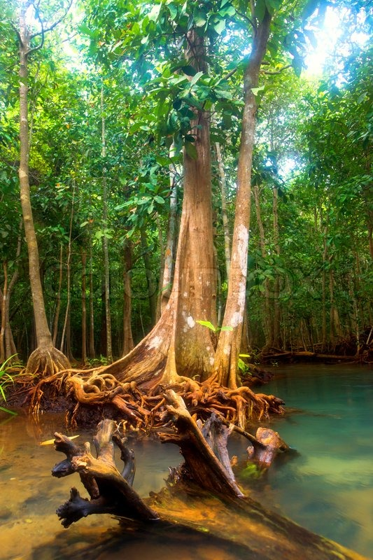 Roots of mangrove trees in rainforest, Thailand | Stock ...  Roots of mangro...