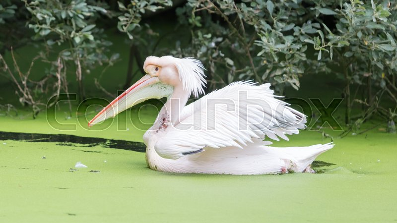 Swimming pelican in dirty water,     | Stock image | Colourbox
