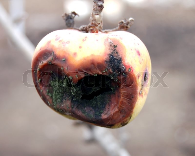 a bad rot apple on the tree | stock photo | colourbox, Hause ideen
