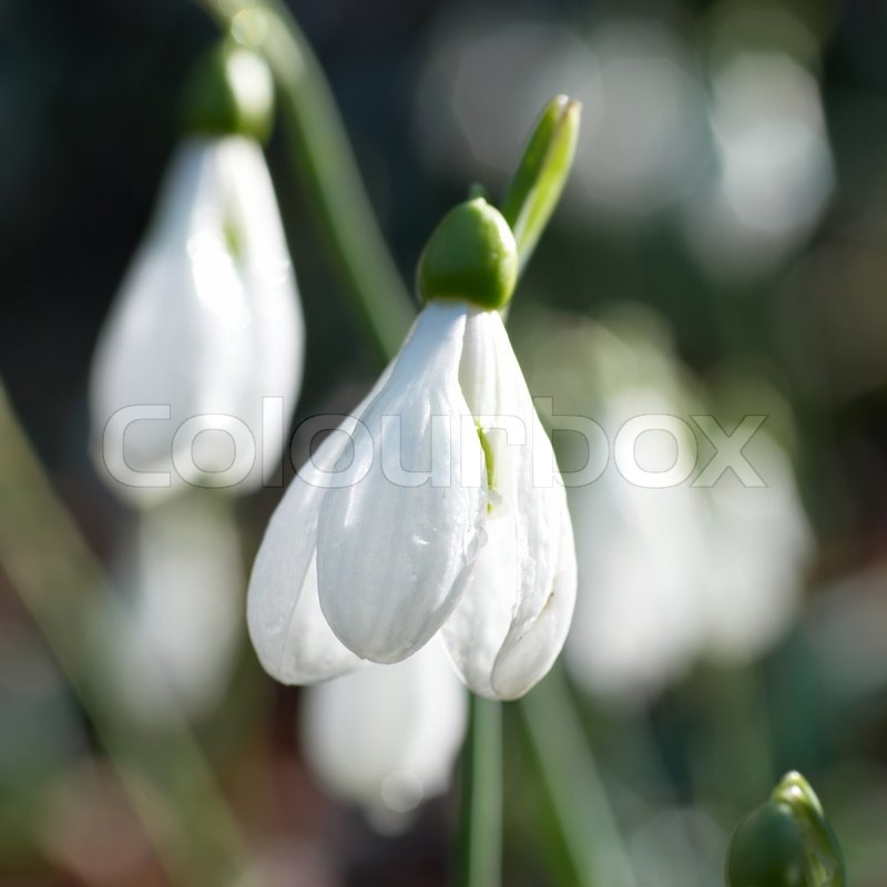 Snowdrops spring white flowers with soft background stock photo snowdrops spring white flowers with soft background stock photo colourbox mightylinksfo