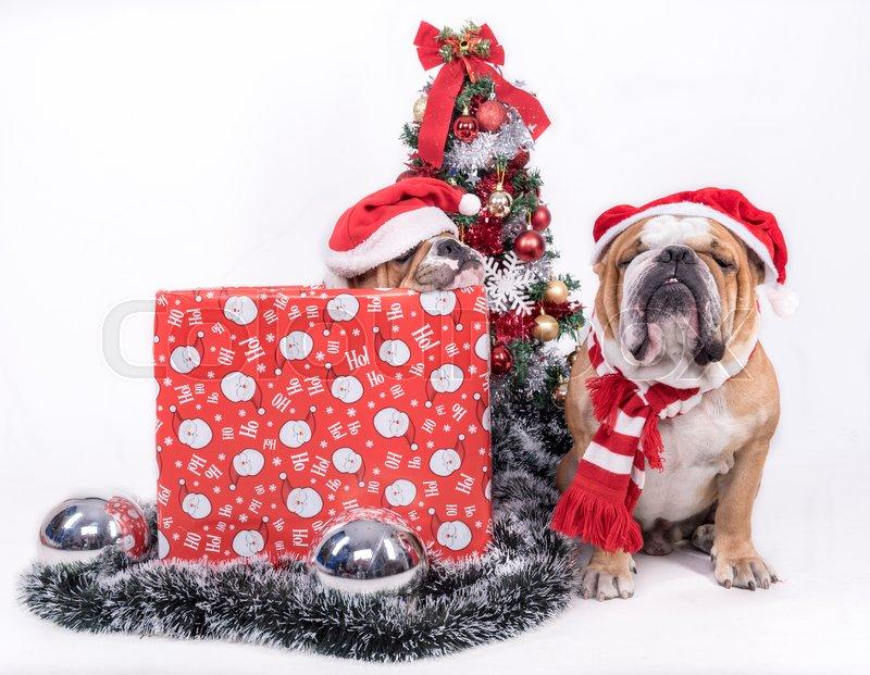 Sleeepy English bulldogs with Christmas tree,isolated on white , stock photo