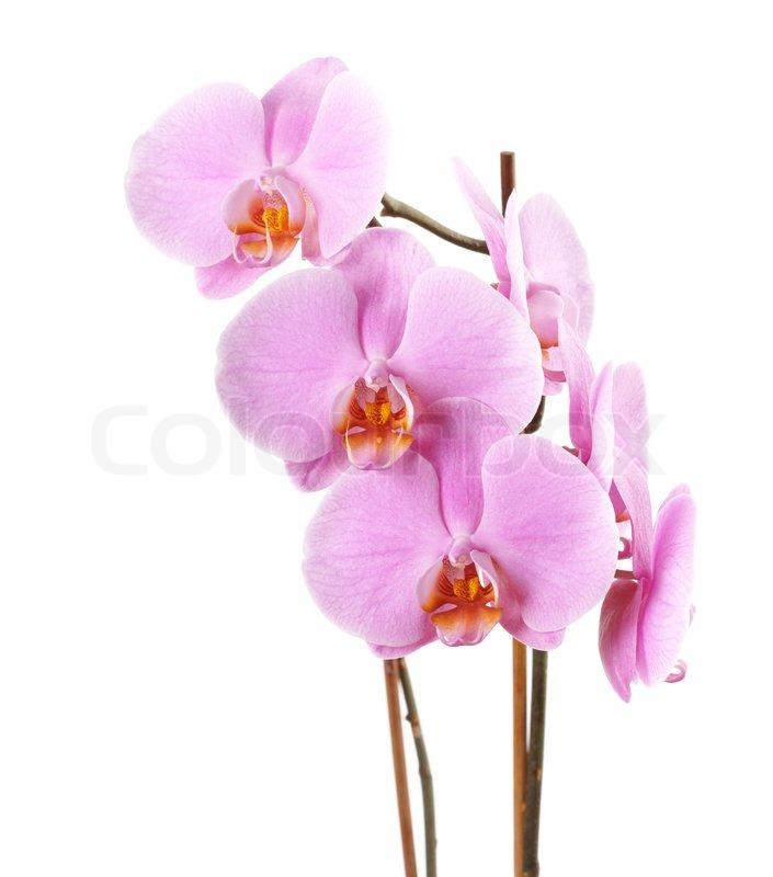 nahaufnahme des rosa phalaenopsis orchidee zweig flache sch rfentiefe bereich ber wei e. Black Bedroom Furniture Sets. Home Design Ideas