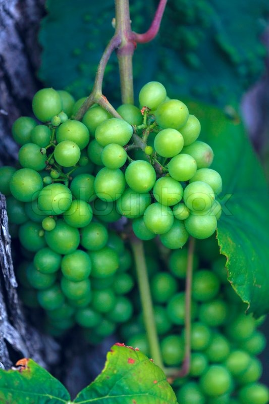 Wild grape, Chalkidiki, Greece, stock photo