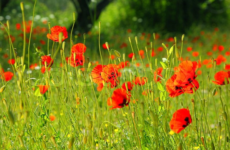 fresh red puppy meadow natural spring landscape flower field in