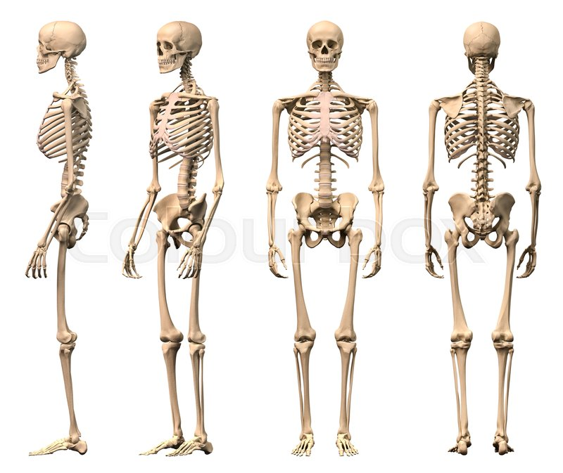 Male Human Skeleton Four Views Front Stock Photo Colourbox