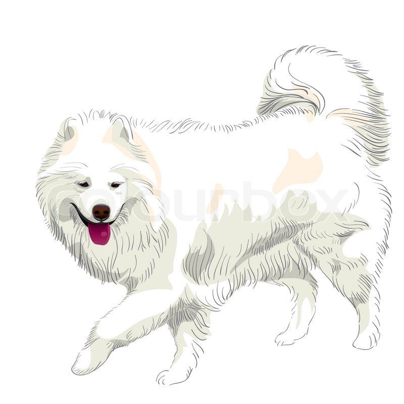 Fluffy White Samoyed Dog Runs And Smiles Stock Vector
